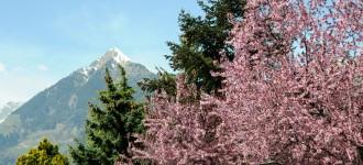 Frühlingsblüte in Schenna mit Blick auf den Ifinger